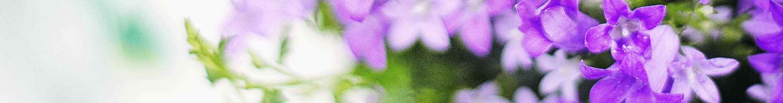 lilacs banner