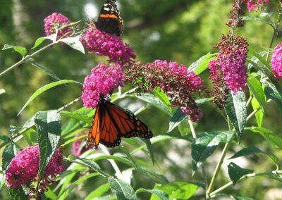 Butterflies on a Butterfly Bush, S. Mackenzie
