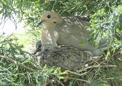 Garden habitat, Doves nesting in Junipers, S. Mackenzie
