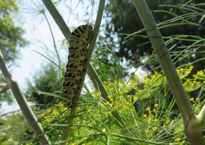 Swallowtail caterpillar on dill, S. Mackenzie